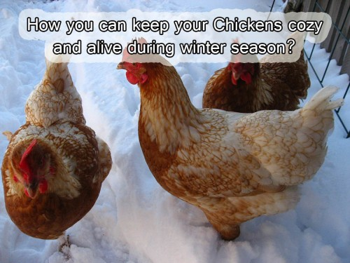 How you can keep your Chickens cozy and alive during winter season?