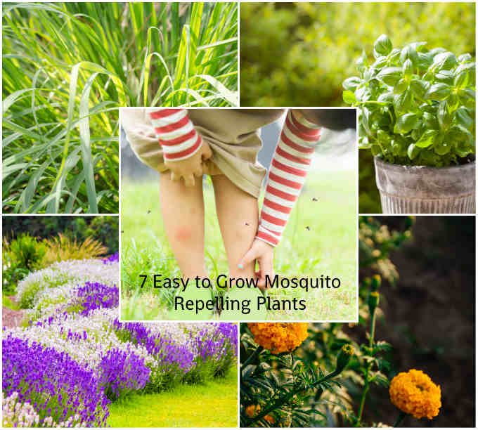 7 Easy to Grow Mosquito-Repelling Plants