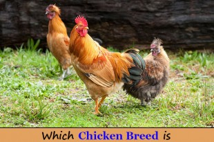 Which Chicken Breed is Right for Your Homestead?