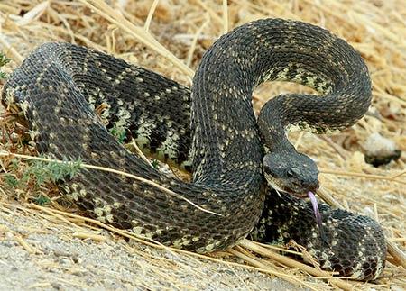 Suck Venom From Snake Bites
