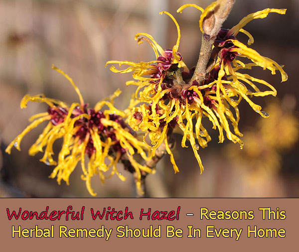 Wonderful Witch Hazel - Reasons This Herbal Remedy Should Be In Every Home