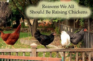 Reasons We All Should Be Raising Chickens