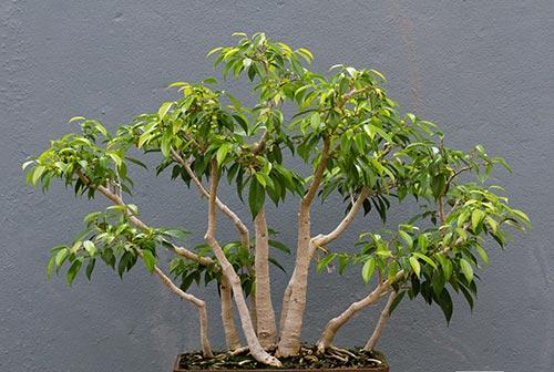 Ficus Tree - Ficus benjamina