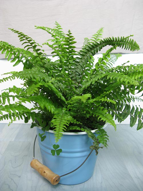 Sword Fern - Also called the Boston Fern