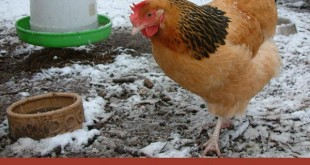 "Keeping ""Cooped Up"" Chickens Warm in Winter"