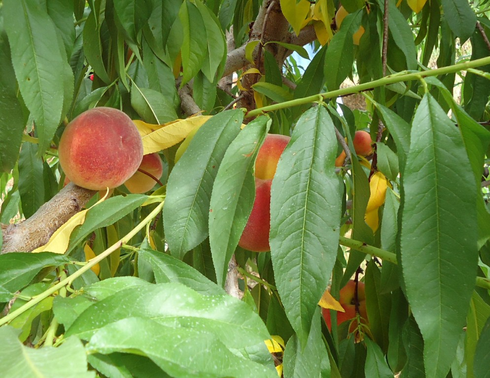 Trees organic life for your homestead home and for The peach tree