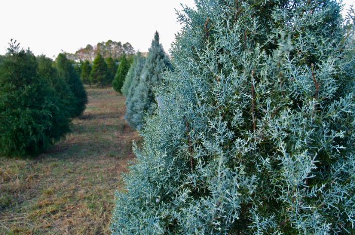 'Blue Sapphire' Cypress