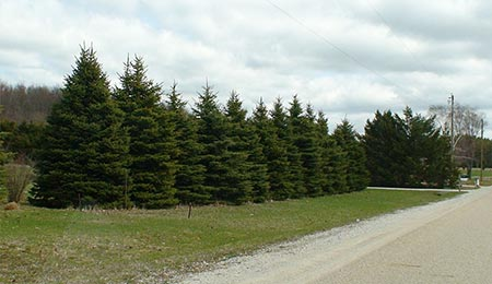 Plant pine trees as a living fence.