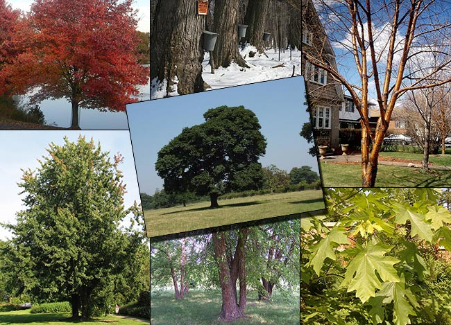18 Trees That Can Be Tapped For There Sap
