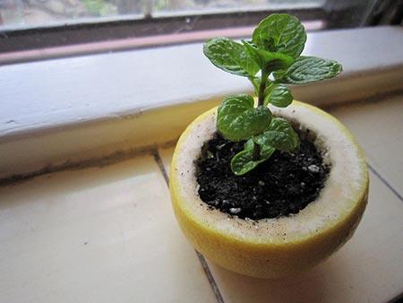 A Citrus Peel Starter Pot For Seedlings