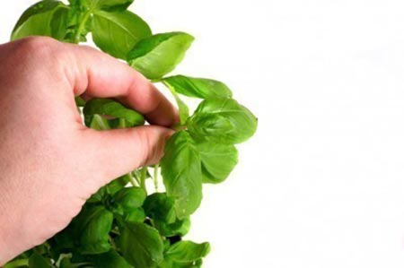 Making Herbs Bigger Through Pinching