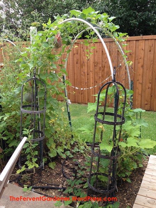 Grow Cantaloupe Vertically