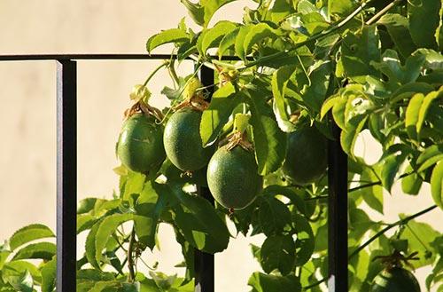 Passion Fruit Trellis