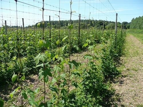 20 garden plants to grow vertically this year for Hops garden designs