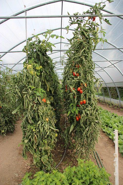 tomato-1215016_960_720