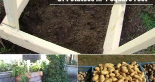 How To Grow 100 Pounds Of Potatoes in 4 Square Feet