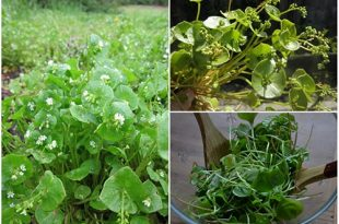 Home Vegetable Gardening - Growing Claytonia