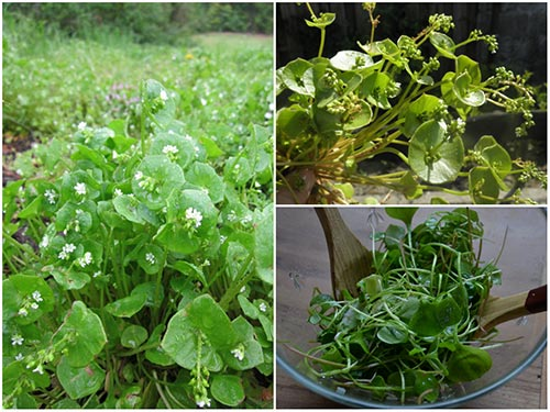 Home Vegetable Gardening - Growing Claytonia