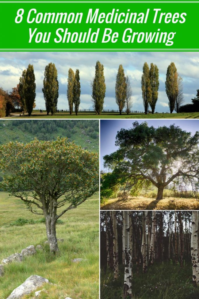8 Common Medicinal Trees You Should Be Growing