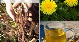 How To Harvest Dandelions And Use Them