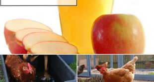8 Ways Apple Cider Vinegar Can Help Care For Your Chickens