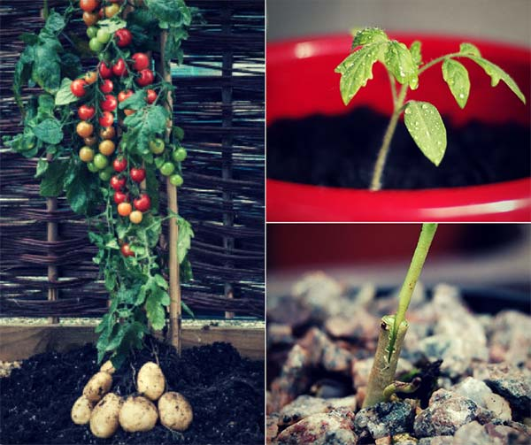How To Grow Tomatoes And Potatoes On The Same Plant