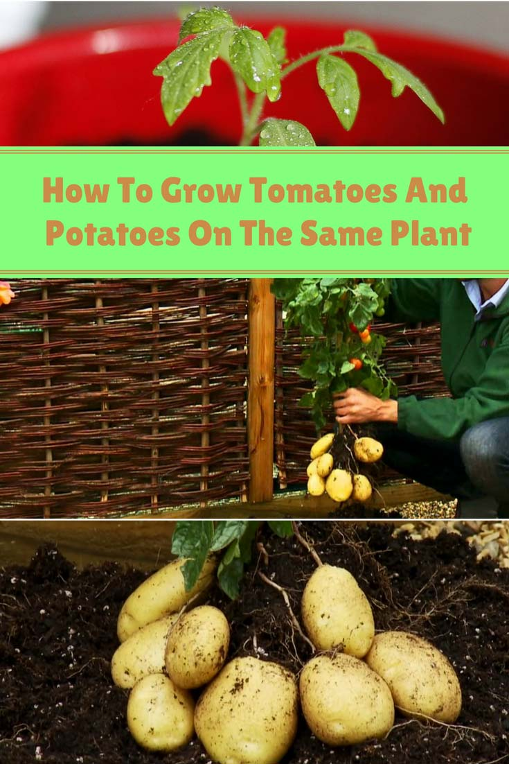 How To Grow Tomatoes And Potatoes On The Same Plant Home And Gardening Ideas