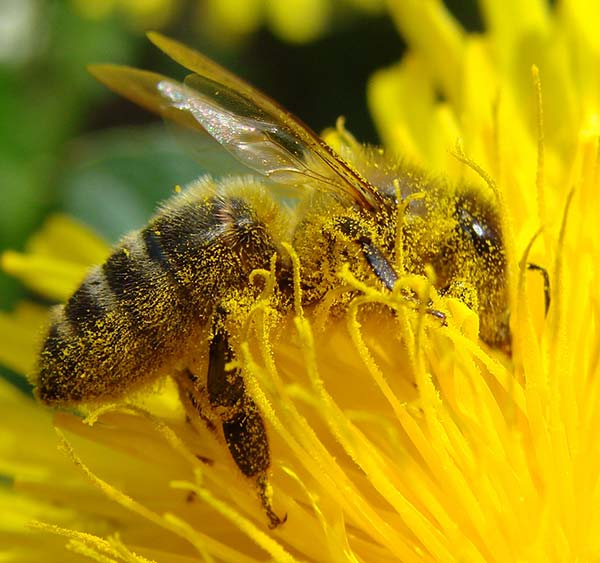 Pollination Bee