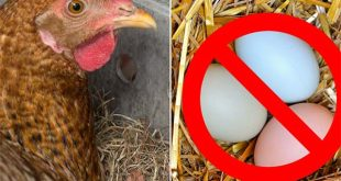 6 Common Reasons Why Your Hens Stop Laying