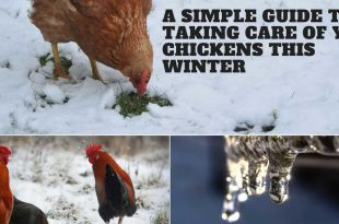 A Simple Guide to Taking Care of Your Chickens This Winter