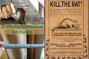 5 Effective Homemade Rat Poisons