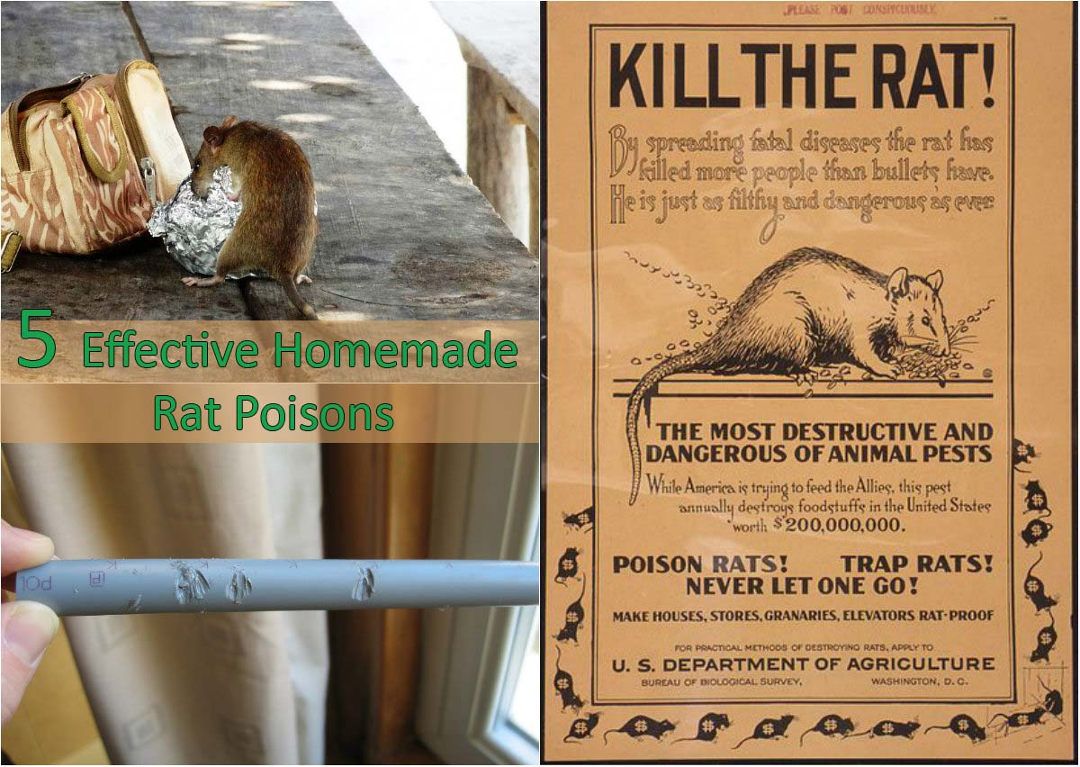 5 Effective Homemade Rat Poisons - Home