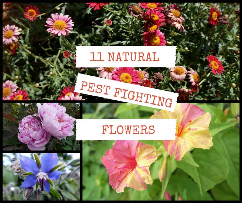 11 Natural Pest Fighting Flowers