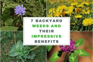 7 Backyard Weeds and Their Impressive Benefits