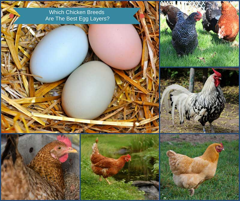 Which Chicken Breeds Are The Best Egg Layers