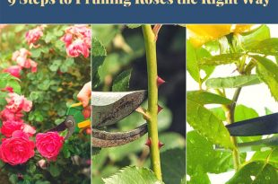9 Steps to Pruning Roses the Right Way