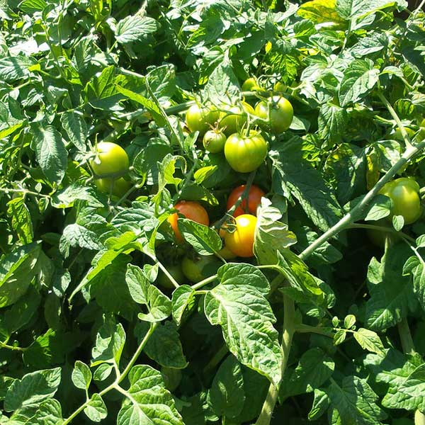 Boost Your Tomato Plants