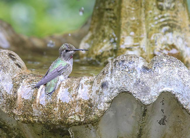 Do Hummingbirds Like Birdbaths