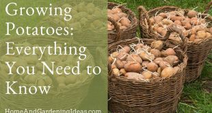 Growing Potatoes Everything You Need to Know