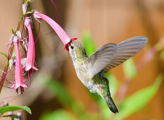 Hummingbird's Favorite Flowers