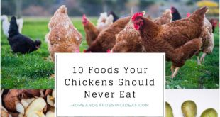 10 Foods Your Chickens Should Never Eat