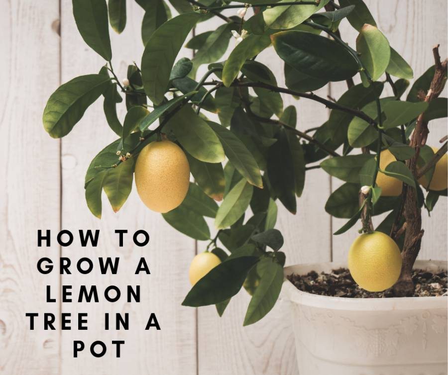 How To Grow A Lemon Tree In A Pot