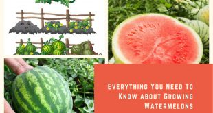 Everything You Need to Know about Growing Watermelons