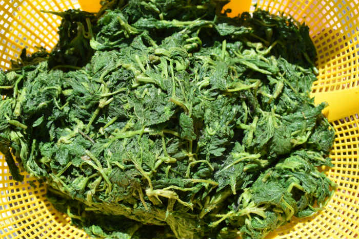 stinging nettle boiled and ready to be used