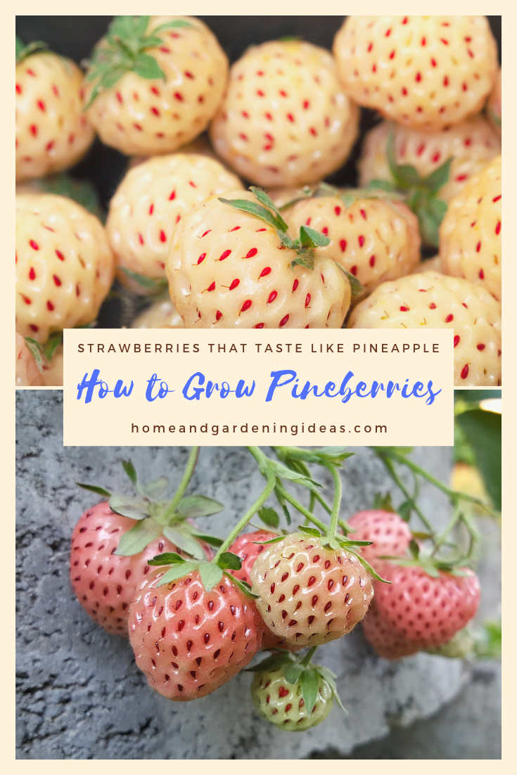 How to Grow Pineberries