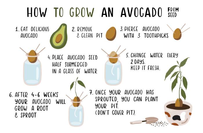 Growing an Avocado Plant