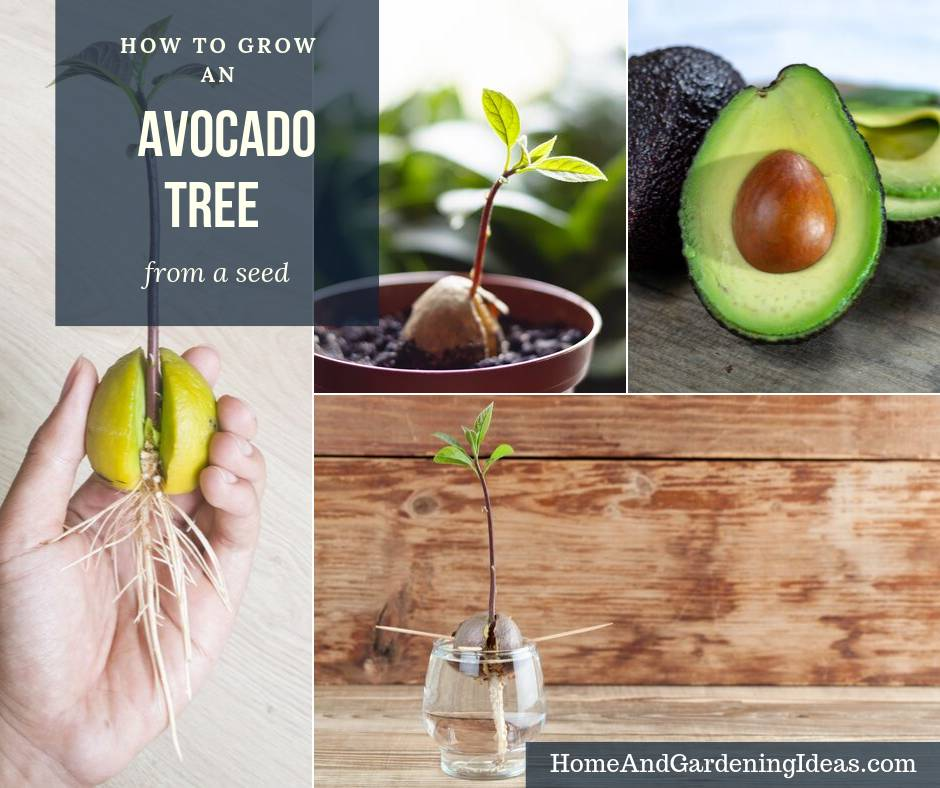 How To Grow An Avocado Tree Home And Gardening Ideas
