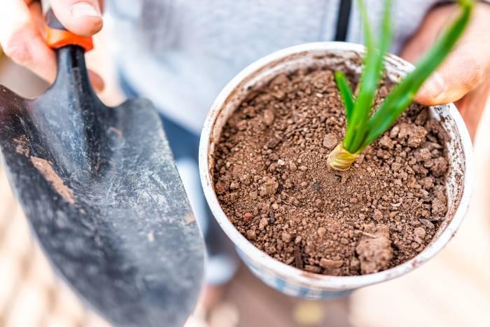 Scallions plants